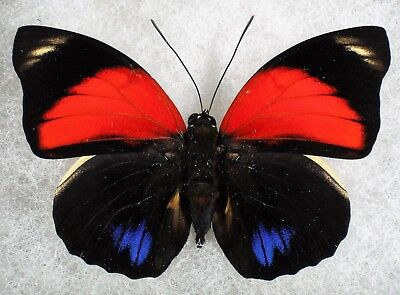 """Insect/Butterfly/ Agrias amydon tryphon - Male 3"""" Type II"""
