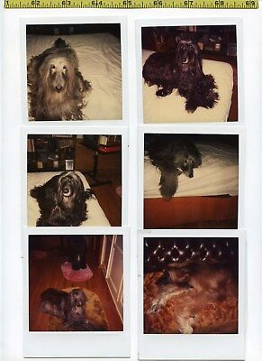 (48) Vintage Color POLAROID photo lot / DOGS - Afghan Hounds - Beautiful Breed