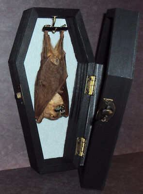 Real Hanging Bat in Black Wooden Coffin! Gothic Taxidermy! Nice Quiet Pet!