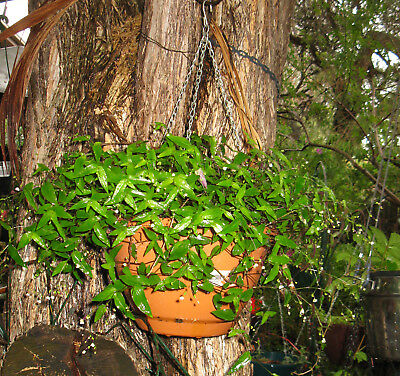 Tahitian Bridal Veil Plant in hanging pot. Ivanhoe, Vic