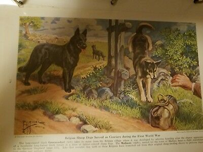 E Miner Belgian Malinois Groenendael bookplate 1941 National Geographic Magazine