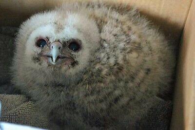 Beautiful Young Tawny Owl'  Saved From Peril,*Please Read This Story***