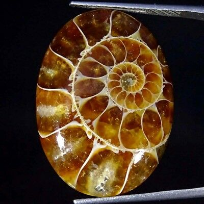 27.60Cts 100% Natural Designer Ammonite Fossil Oval Cabochon Loose Gemstone