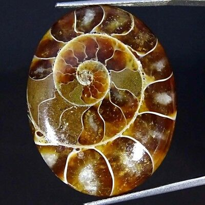 32.50Cts 100% Natural Designer Ammonite Fossil Oval Cabochon Loose Gemstone
