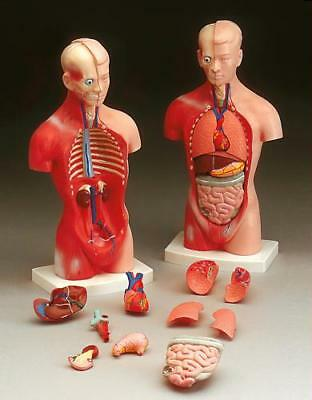 NEW MALE HUMAN TORSO ANATOMICAL ANATOMY MEDICAL MODEL 26cm/10.5 inch TALL