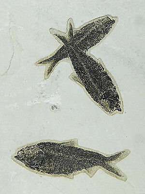 THREE! 100% Natural 50 Million Year Old Knightia Fish Fossils! Wyoming 2555gr e