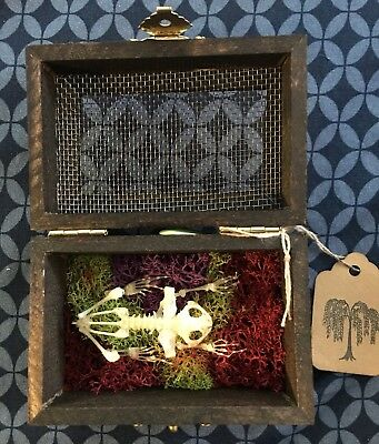 Real Asian Rice Frog Taxidermy Skeleton In Wooden Mesh Top Box