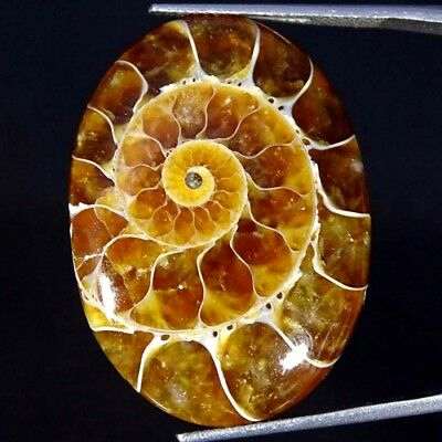 33.90Cts 100% Natural Designer Ammonite Fossil Oval Cabochon Loose Gemstone