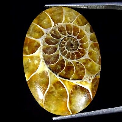 30.40Cts 100% Natural Designer Ammonite Fossil Oval Cabochon Loose Gemstone