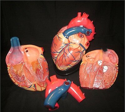 New Style Jumbo Human Heart Anatomical Anatomy Model 4 Times Enlarged 3 Parts