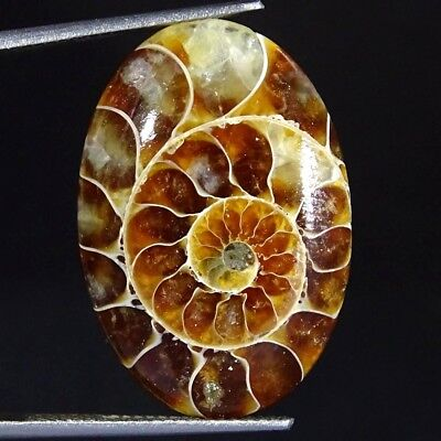 16.20Cts 100% Natural Designer Ammonite Fossil Oval Cabochon Loose Gemstone