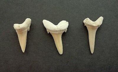 5 x Fossil Shark Tooth - Sand Tiger Shark - Great Gift Idea-70 Million Years old