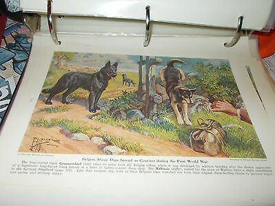E Miner Belgian Malinois & Groenendael bookplate 1941 National Geographic Mag