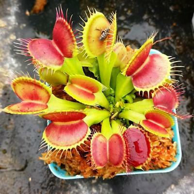 50X Mini Venus Fly Trap Seeds Carnivorous Plant Home Garden Seed Yard Cute A+