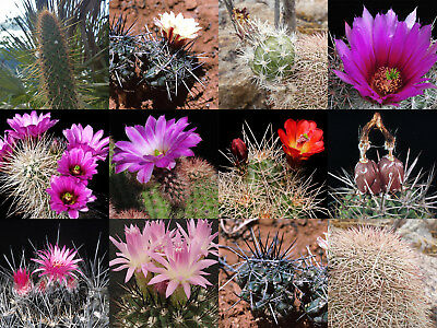 #8465#8 Collection starter Cactus huge selection of mixed fresh seeds