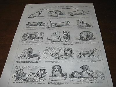 1856 Original CARTOON - A Day in the Life of a SKYE TERRIER Puppy Dog