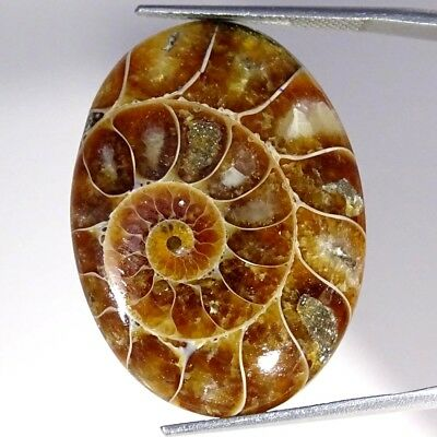 34.30Cts 100% Natural Designer Ammonite Fossil Oval Cabochon Loose Gemstone