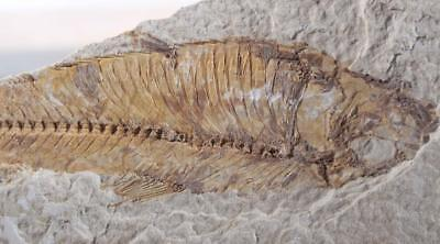 Fossil Fish: Green River Formation Wyoming 7.7 oz. plate