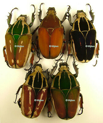 Mecynorrhina ugandensis - females set of 5 specimens, size 50-56mm 4 A1 and 1 A-