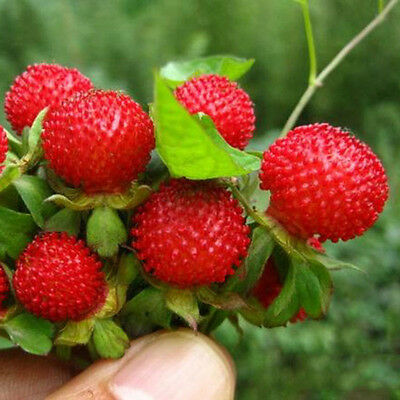 500pcs Seeds Red Wild Strawberry Duchesnea Natural Heirloom-GardenFruit~ D8N5