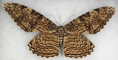 """Insect/Moth/ Thysania agrippina - Female 9 7/8"""""""