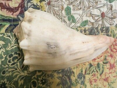 """RIGHT HANDED KNOBBED WHELK  SHELL 8"""" x 5"""" LARGE Pale pink/orange tint-"""
