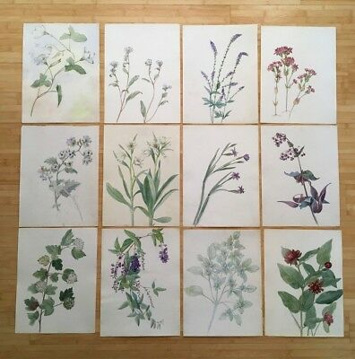 Antique Botanical Watercolors, Early Calif, Original, Vintage, 1925-33 Lot of 12