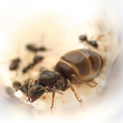 Queen Ant with Brood (eggs and Larvae) - Lasius Niger