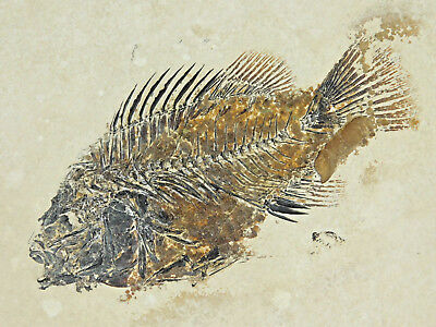 WOW A PERFECT! 100% NATURAL 50 Million Year Old Priscacara Fish Fossil 2585gr e