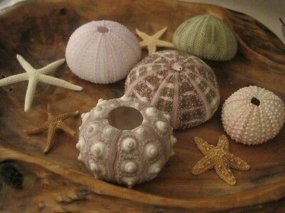 Sea Urchin And Mini Starfish Collection, Beach Decor, Nautical, Starfish Supply