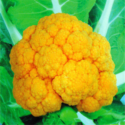 """Yellow """"CHEDDER"""" Cauliflower seeds x 20 fresh vegetable specialty produce"""