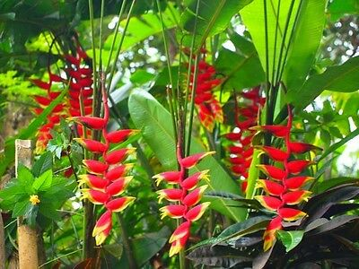 * Heliconia Rostrata * Lobster Claw * False Bird of Paradise * 5 RARE Seeds *