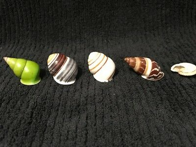 Set of 5 Land snails 26 to 41 mm
