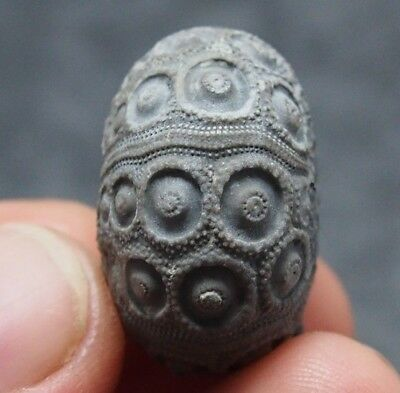 Echinoid 27x17mm Nenoticidaris mercieri Fossil Natural Sea Urchin Fossilien