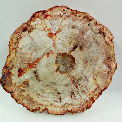 "5.8""1.1lb Polished PETRIFIED WOOD FOSSIL AGATE Slice DISPLAY Madagascar Y1071"