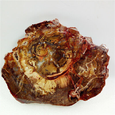 "5""302g PETRIFIED WOOD FOSSIL AGATE Crystal Geode Slice Display  Madagascar Y1073"
