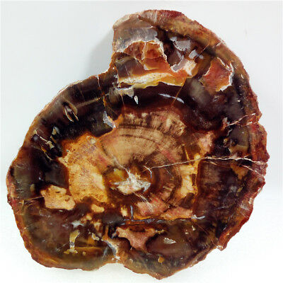 "4.9""340g PETRIFIED WOOD FOSSIL Agate Crystal Slice Display Riki Madagascar Y1072"