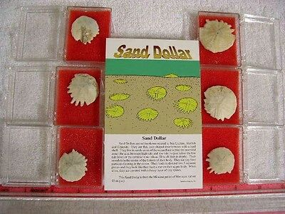 Sand dollar fossil echinoderm Miocene 2 per winner in display box w/info sheet