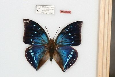 Butterflies: VERY RARE: zelica rougeoti MALE PARATYPE