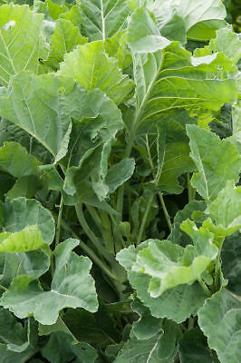 Thousand-headed Cabbage - Kale - 25+ seeds - Heirloom!