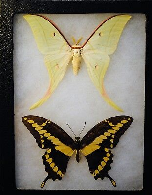 Swallowtail butterfly and Malaysian Luna Moth