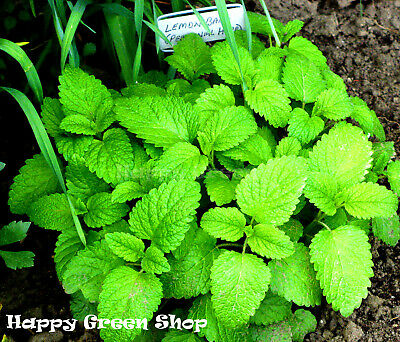 LEMON BALM - 5000 SEEDS - Melissa officinalis - Herb