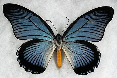 """Insect/Buttrfly/ Papilio zelmoxes - Male 5.5"""""""