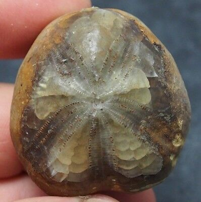 Echinoid mineralized 40x26mm Toxaster peroni spines Fossil Natural Sea Urchin