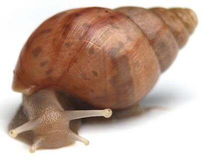 Giant African Land Snail - Normal/Albino
