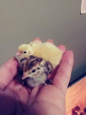 50 + extras Farm fresh jumbo brown coturnix quail eggs for hatching OR EATING