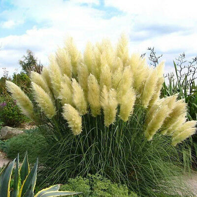 ORNAMENTAL PAMPAS PENNISETUM GRASS PERL WHITE FEATHER 500 SEEDS-Cortaderia