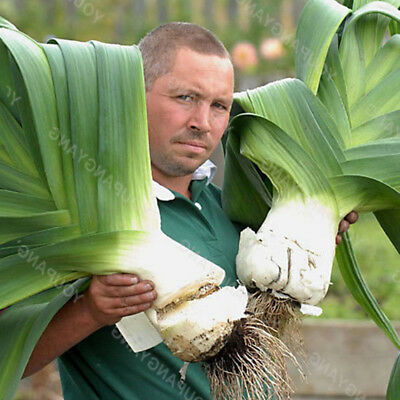 Vegetable Garlic Pure Natural Organic Giant Healthy Seeds 50pcs Seeds