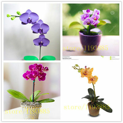 Home Pcs Rare Decoration Orchid For Seeds Phalaenopsis Flower Mini Seeds, 50