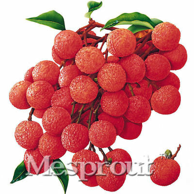Litchi New Lychy Plants Lychee Succulent Seeds 10pcs Pack